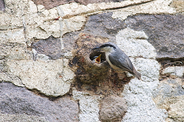 Western Rock-Nuthatch (Sitta neumayer) parent at nest with begging chick, Lesvos, Greece