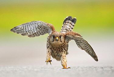 Eurasian Kestrel (Falco tinnunculus) in defensive posture