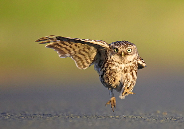 Little Owl (Athene noctua) stretching wing