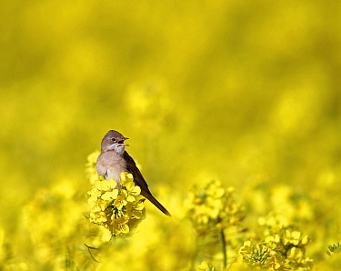 Eurasian Reed-Warbler (Acrocephalus scirpaceus) calling on Oil Seed Rape (Brassica napus)