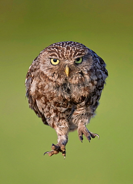 Little Owl (Athene noctua) jumping