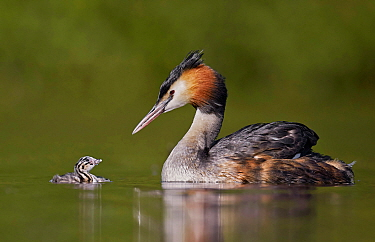 Great Crested Grebe (Podiceps cristatus) and chick looking at one another