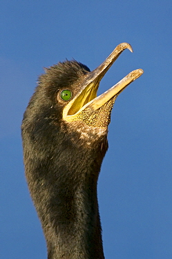 European Shag (Phalacrocorax aristotelis) panting, Saltee Island, Ireland
