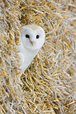 Barn Owl (Tyto alba) peeking out from haystack, United Kingdom