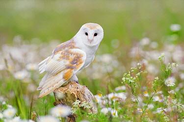 Barn Owl (Tyto alba), United Kingdom