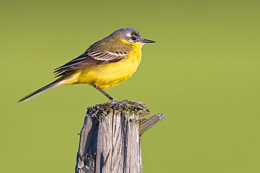 Blue-headed Wagtail (Motacilla flava), Noord-Holland, Netherlands