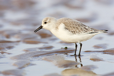 Sanderling (Calidris alba) on beach, Donna Nook, Lincolnshire, England