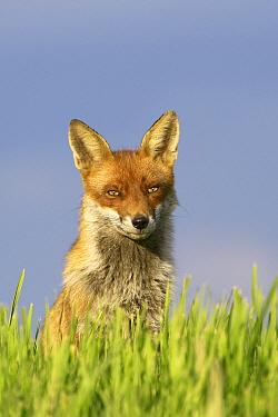 Red Fox (Vulpes vulpes), Essex, England