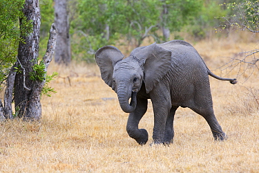 African Elephant (Loxodonta africana) calf running, Sabi Sands Game Reserve, South Africa