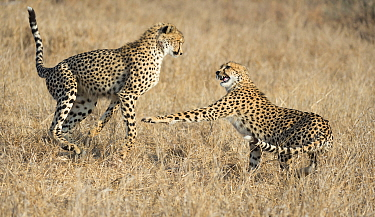 Cheetah (Acinonyx jubatus) cubs play-fighting, Sabi Sands Game Reserve, South Africa