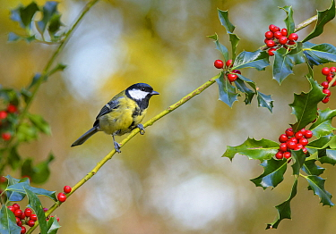 Great Tit (Parus major) on holly with berries , Gelderland, Netherlands