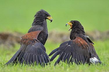 Harris' Hawk (Parabuteo unicinctus) pair fighting, Overijssel, Netherlands