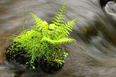 Fern in stream, Auvergne, France  -  Serge Joosten