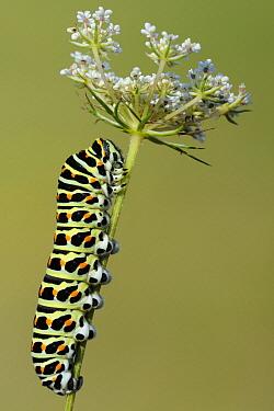 Oldworld Swallowtail (Papilio machaon) caterpillar, France