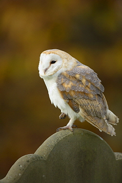 Barn Owl (Tyto alba) in cemetery, Suffolk, England