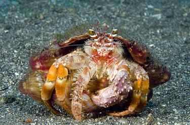 Anemone Hermit Crab (Dardanus pedunculatus), Bali, Indonesia