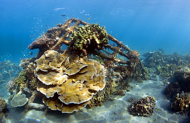 Corals growing on placed wreck, Bali, Indonesia