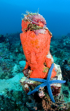 Coral and  blue starfish on statue, Bali, Indonesia