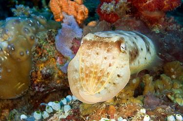 Broadclub Cuttlefish (Sepia latimanus), Napoleon Reef, Pemuteran, Bali, Indonesia