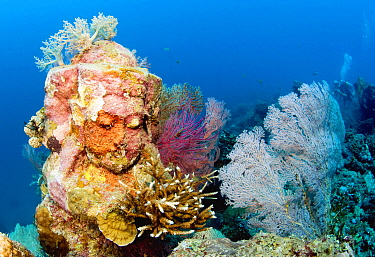Corals growing on placed statue, Pemurtan Bay, Bali, Indonesia