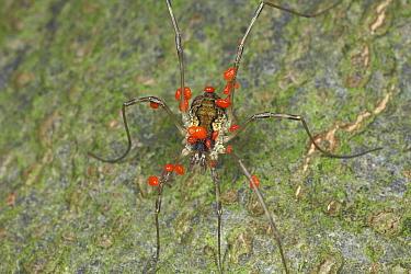 Harvestman (Mitopus morio) female with mites, Drenthe, Netherlands  -  Jan van Duinen/ NiS