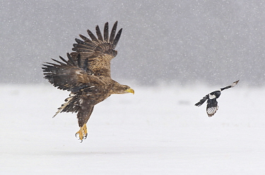 White-tailed Eagle (Haliaeetus albicilla) chased by European Magpie (Pica pica), Poland