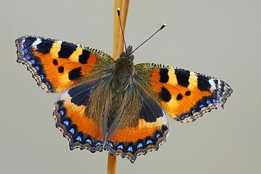 Small Tortoiseshell (Aglais urticae) butterfly, Friesland, Netherlands