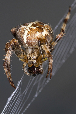 Garden Spider (Araneus diadematus) carrying prey, Devon, England