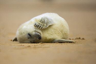 Grey Seal (Halichoerus grypus) pup sleeping on beach, Norfolk, England