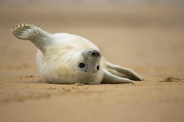 Grey Seal (Halichoerus grypus) pup on beach, Norfolk, England