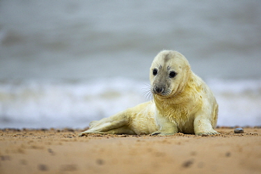 Grey Seal (Halichoerus grypus) pup on beach, Norfolk, England