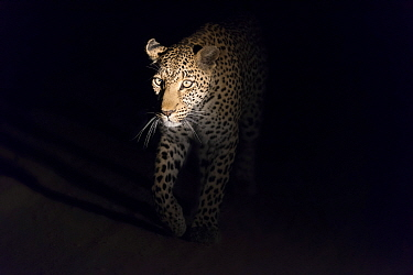 Leopard (Panthera pardus) female at night, Sabi Sands Game Reserve, South Africa