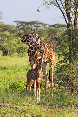 Reticulated Giraffe (Giraffa reticulata) mother nuzzling calf, Samburu National Park, Kenya