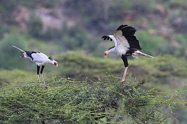 Secretary Bird (Sagittarius serpentarius) pair courting, Samburu National Park, Kenya