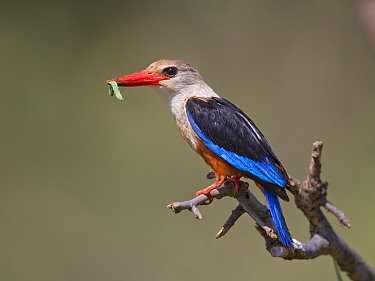 Grey-headed Kingfisher (Halcyon leucocephala) with caterpillar prey, Samburu National Park, Kenya