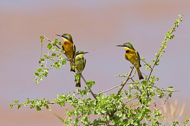Little Bee-eater (Merops pusillus) trio, Samburu National Park, Kenya
