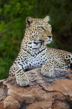 Leopard (Panthera pardus), Samburu National Park, Kenya