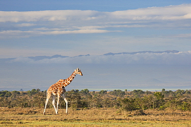 Reticulated Giraffe (Giraffa reticulata) male in plain, Ol Pejeta Conservancy, Kenya