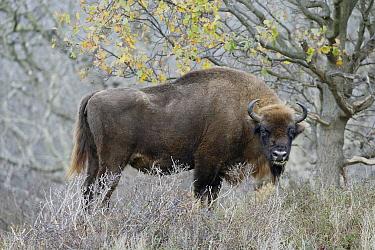 European Bison (Bison Bonasus), Noord-Holland, Netherlands