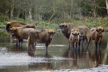 European Bison (Bison Bonasus) herd in river, Noord-Holland, Netherlands