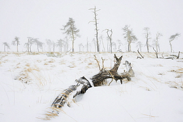 Scotch Pine (Pinus sylvestris) dead trees in snow, Belgium