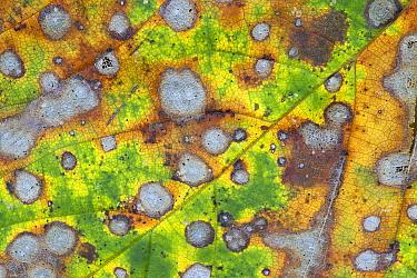 Sycamore (Acer pseudoplatanus) decaying leaf, Gelderland, Netherlands