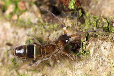 Springtail (Orchesella cincta), Drenthe, Netherlands  -  Jan van Duinen/ NiS