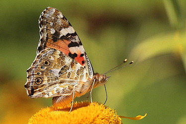 Painted Lady (Vanessa cardui) butterfly feeding on flower nectar, Drenthe, Netherlands  -  Jan van Duinen/ NiS