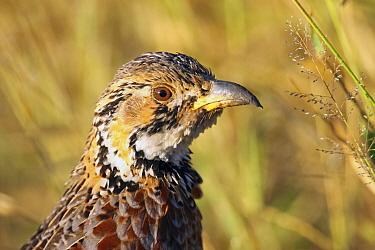 Shelley's Francolin (Francolinus shelleyi), Kruger National Park, South Africa