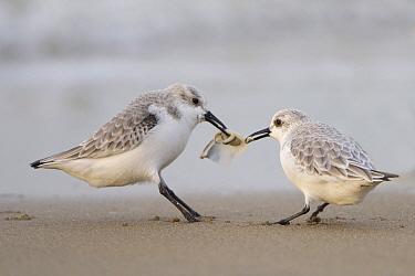 Sanderling (Calidris alba) pair fighting over food, Zuid-Holland, Netherlands