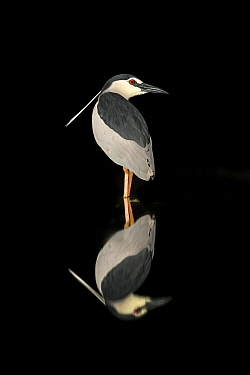 Black-crowned Night Heron (Nycticorax nycticorax) in pool at night, Kiskunsag National Park, Hungary