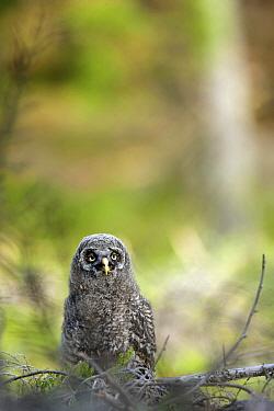 Great Gray Owl (Strix nebulosa) chick on ground, Oslo, Norway