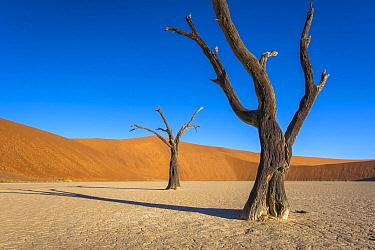 Camelthorn Acacia (Acacia erioloba) dead trees in desert, Dead Vlei, Namibia