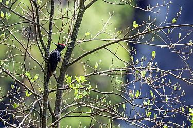 Black Woodpecker (Dryocopus martius) male, Dolomiti di Sesto National Park, Italy